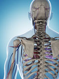 Skeleton and vascular system Stock Photo