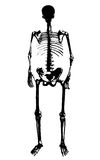 Skeleton vector. Human skeleton shape isolated on white background Royalty Free Stock Image