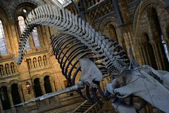 Skeleton of a whale inside a the natural history museum in London stock photo