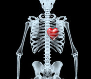 Skeleton X-Ray displaying red heart Royalty Free Stock Photography