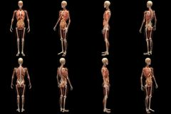 Skeleton X-Ray with Muscles and Internal Organs Royalty Free Stock Photo