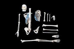 Skeleton Zusammensetzung lizenzfreie stockbilder