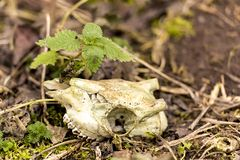 Skeletonized animal Skull without horns lies on the ground with a plant. Skeletonized animal Skull without horns lies on the ground with a green plant stock photography