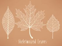 Skeletonized leaves collection Royalty Free Stock Image