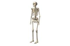 Skeletons Stock Photo