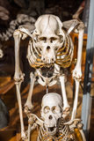 Skeletons of animals in the Gallery of Palaeontology and Comparative Anatomy in Paris Stock Photos