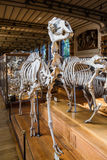 Skeletons of animals in the Gallery of Palaeontology and Comparative Anatomy in Paris Stock Images