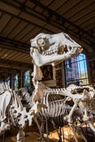 Skeletons of animals in the Gallery of Palaeontology and Comparative Anatomy in Paris Royalty Free Stock Photography