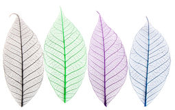Skeletons of leaves royalty free stock images
