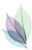 Skeletons of leaves Stock Image