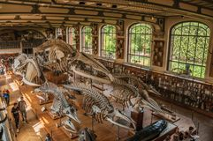 Skeletons of marine mammals at hall in Gallery of Paleontology and Comparative Anatomy at Paris. Paris, northern France - July 10, 2017. Skeletons of marine stock photography