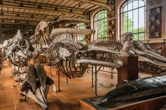Skeletons of marine mammals at hall in Gallery of Paleontology and Comparative Anatomy at Paris. Paris, northern France - July 10, 2017. Skeletons of marine royalty free stock photography