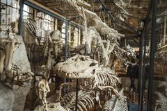 Skeletons in paleonthology gallery in Paris natural history museum, France Stock Images