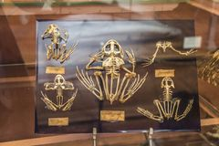 Skeletons in paleonthology gallery in Paris natural history museum, France Stock Photos