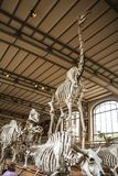 Skeletons in paleonthology gallery in Paris natural history museum, France Royalty Free Stock Photos