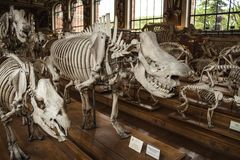 Skeletons in paleonthology gallery in Paris natural history museum, France Royalty Free Stock Photography