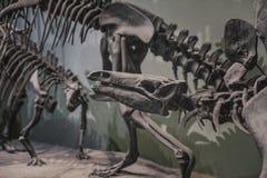 Skeletons of prehistoric dinosaurs Royalty Free Stock Image
