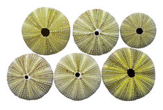 Skeletons of sea-urchins 3 Stock Photos