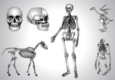 Skeletons and skull Stock Images