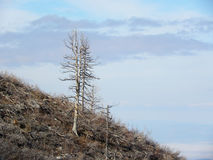 Skeletons of Trees after Mountain Fire Royalty Free Stock Photo