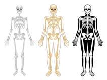 Skelett lizenzfreie abbildung