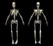 skelett 2 Royaltyfri Fotografi