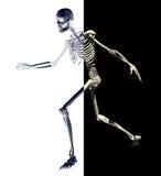 skelett 3 Royaltyfri Bild