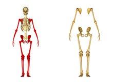 skelett royaltyfri illustrationer