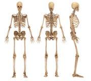 skelett vektor illustrationer