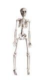 skelett Royaltyfri Fotografi