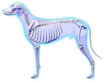 Skelett- anatomi för hund - anatomi av ett manligt hundskelett stock illustrationer
