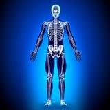 Skelett - anatomiben vektor illustrationer