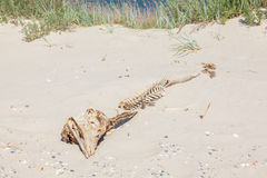 Skelett av den stora fisken Royaltyfri Foto