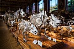 Skelett av djur i gallerit av Palaeontology och komparativanatomi i Paris arkivfoto