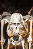 Skelett av djur i gallerit av Palaeontology och komparativanatomi i Paris arkivbild