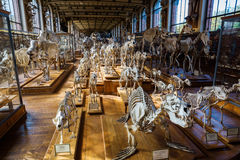Skelett av djur i gallerit av Palaeontology och komparativanatomi i Paris royaltyfria bilder