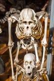 Skelett av djur i gallerit av Palaeontology och komparativanatomi i Paris arkivfoton