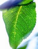 Skelett av ett grönt blad arkivfoton