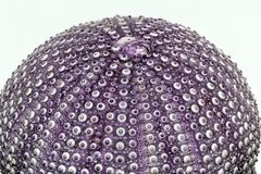 Skelett av havet beskjuter den violetta echinoideaen - closeup Royaltyfria Bilder