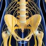 Skelett av kvinnlignervsystemet av backen stock illustrationer