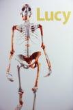 Skelett av Lucy Arkivbild