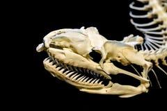 Skelett av ormen arkivbild