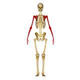 Skelett- ben av armen och handen stock illustrationer