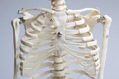 Skelett- bröstkorg Arkivfoton