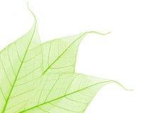 skelett- dekorativa leaves Arkivfoto
