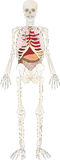 Skelett der Person mit einem internen Stockfotografie