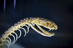 Skelett der Schlange stockbild