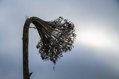Skelett der Sonnenblume am Ende des Herbstes Lizenzfreies Stockbild