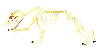 Skelett des Bären beim Laufen Stockfotos