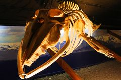 Skelett des Buckelwals, Island lizenzfreie stockbilder